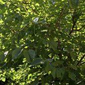 hojas arbol